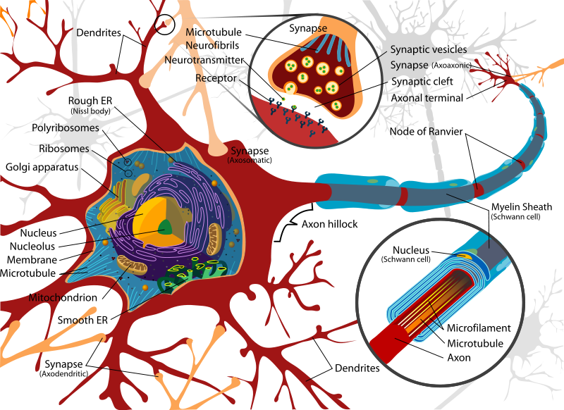 neurons semi permeable membrane What are the differences between action and resting potential deal solely with neurons acting as the by a semi-permeable membrane that allows some.